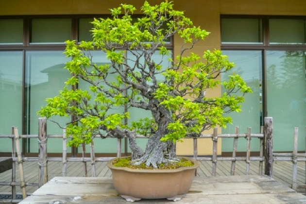 A Five-step Beginner's Guide to Growing Bonsai Trees | Lamudi