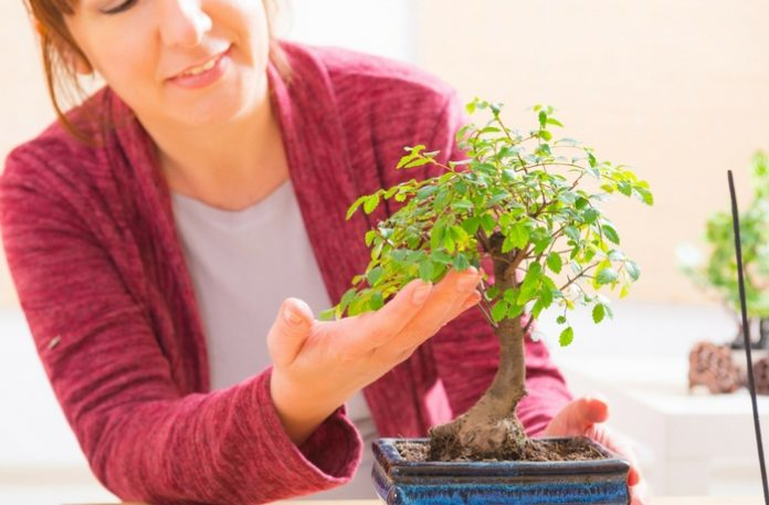 A Five Step Beginner S Guide To Growing Bonsai Trees Lamudi