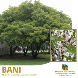 Bani 15 Native Trees That Will Give Your Home a Filipino Touch