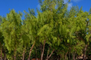 Agoho 15 Trees That Will Give Your Home a Filipino Touch