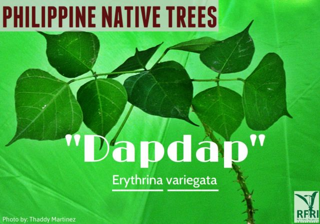 Dapdap 15 Native Trees That Will Give Your Home a Filipino Touch