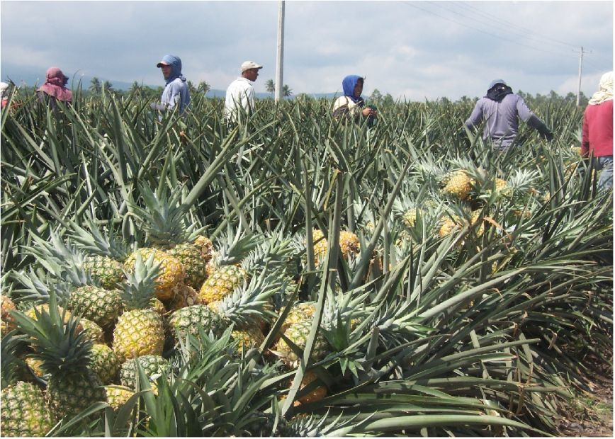 pineapple in philippines Del monte plantation, philippines: home of the sweetest pineapples in the world for last week's travel tuesday post, i salivated over the best chocolate on earth this week i'm traveling to the other side of the world to blog about a different kind of sweet treat: pineapples from the del monte plantation in the philippines.